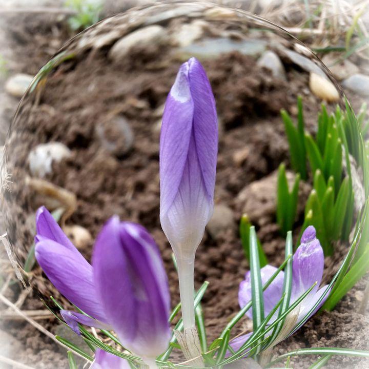 Spring crocuses - feiermar
