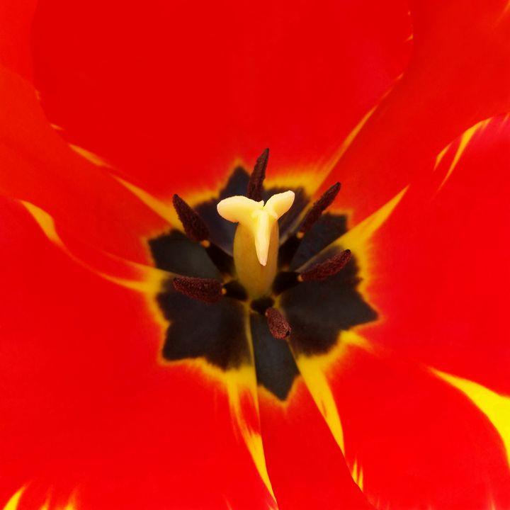 red yellow tulip - feiermar