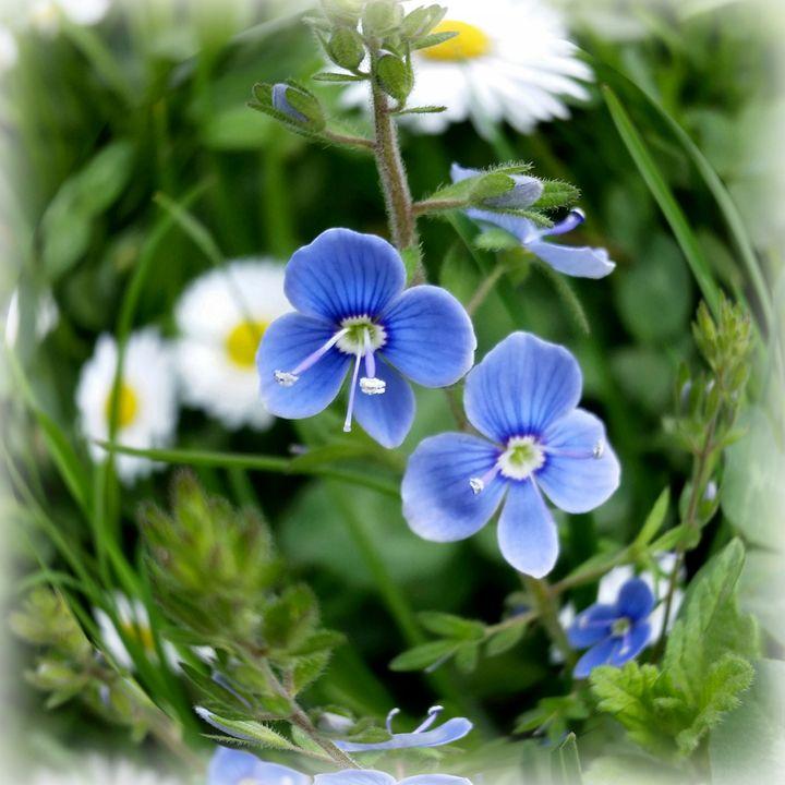 tiny blue flowers - feiermar