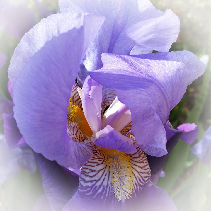 purple iris - feiermar