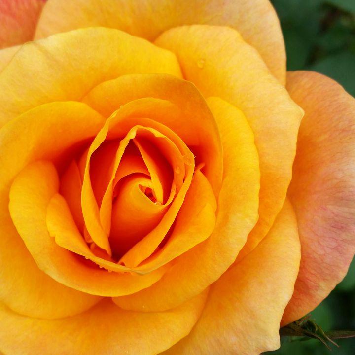 yellow rose blossom - feiermar