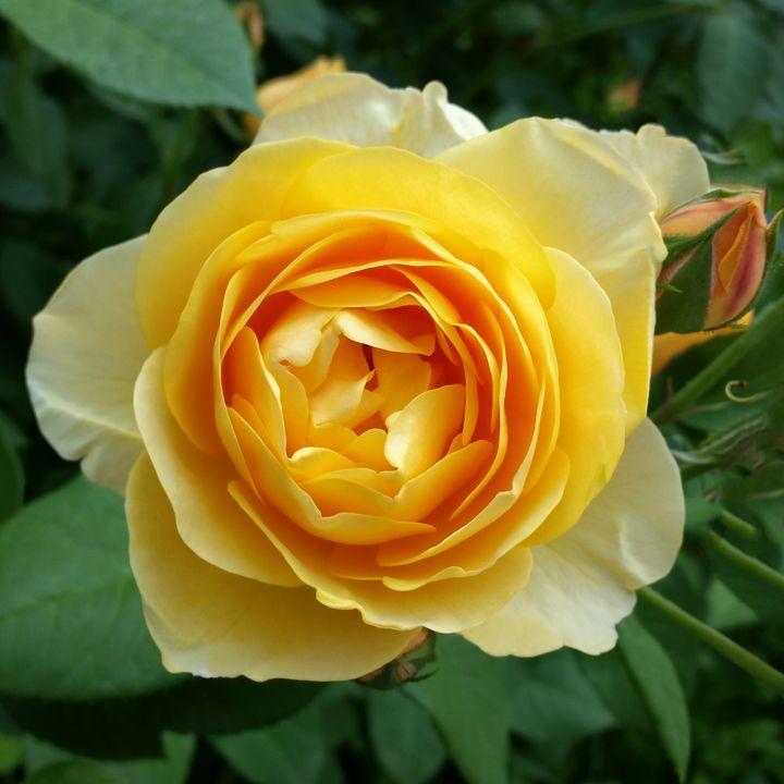 rose and rosebud - feiermar