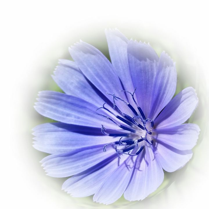 purple blue chicory - feiermar