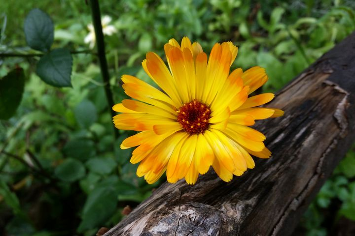 marigold in the forest - feiermar