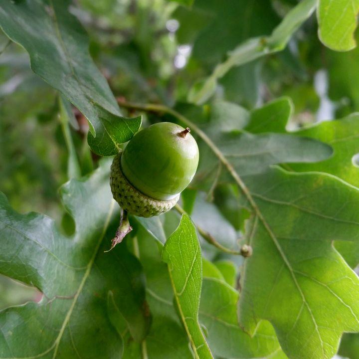an oak fruit - feiermar