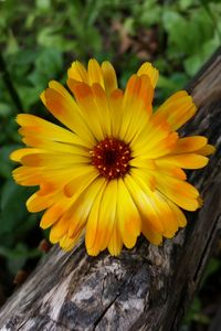marigold on log