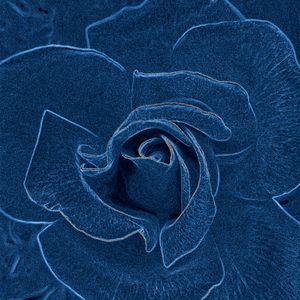 velvety blue rose