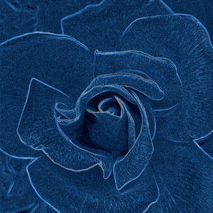 velvety blue rose