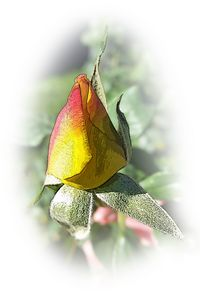 yellow pink rosebud