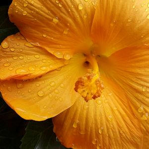raindrops on yellow petals