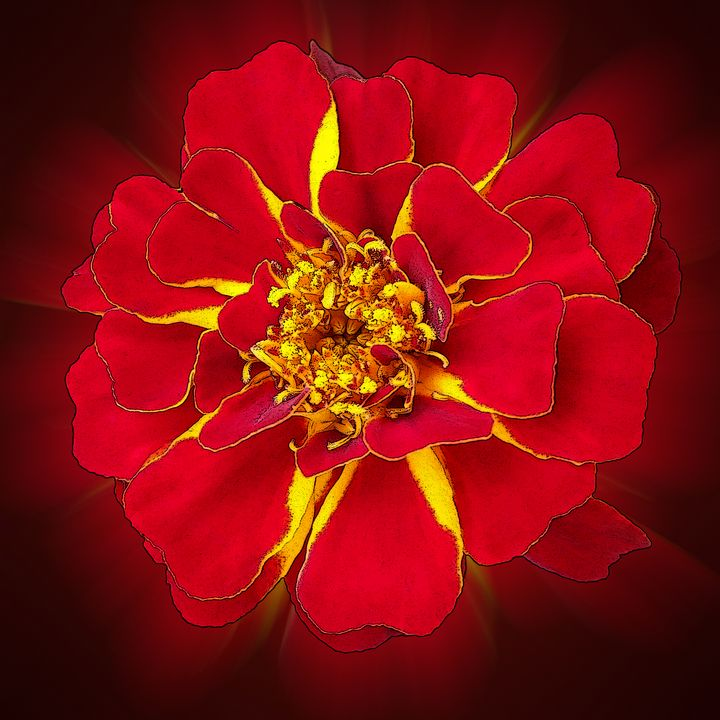 bright red marigold - feiermar