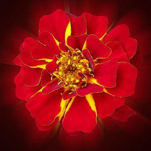 bright red marigold