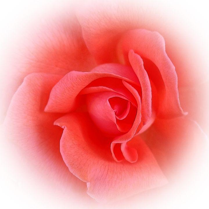 pink coral rose - feiermar