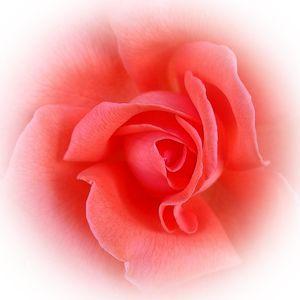pink coral rose