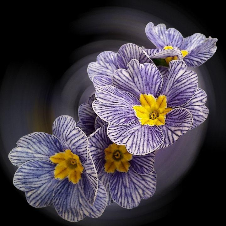 Primrose  flowers - feiermar