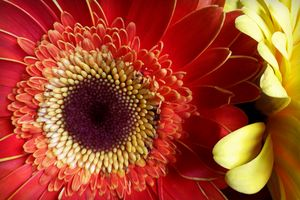 Colors of Gerberas