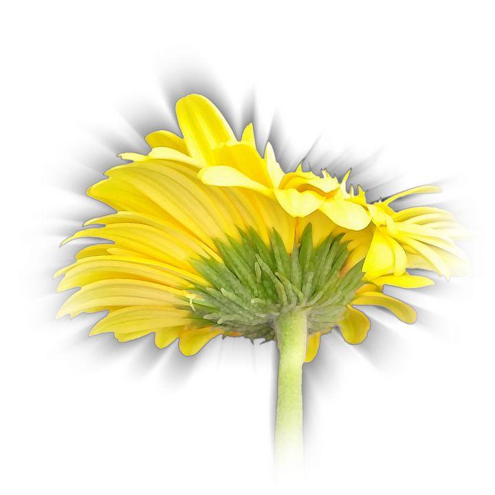 yellow gerbera daisy - feiermar