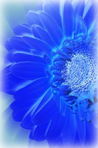 electric blue gerbera