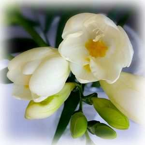 white yellow freesia