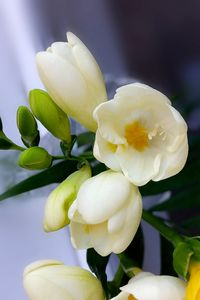 Shades of yellow on white freesia