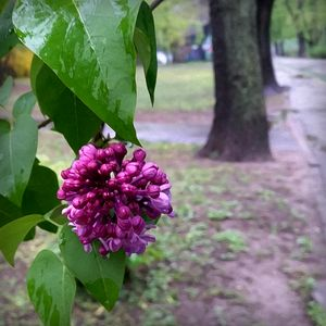 lilac flower in the rain