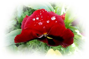 Bright red pansy