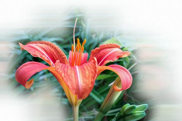 orange lily - feiermar