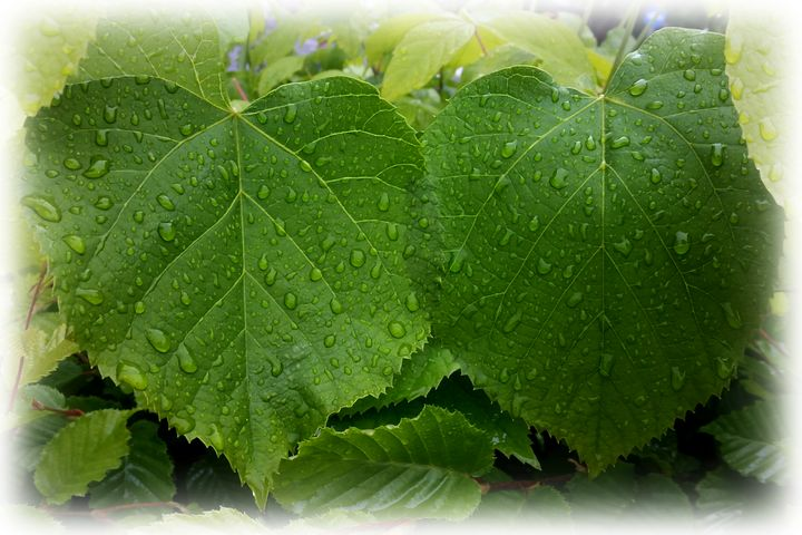 twin leaves - feiermar