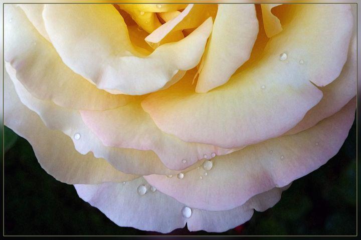 Yellow pink petals - feiermar