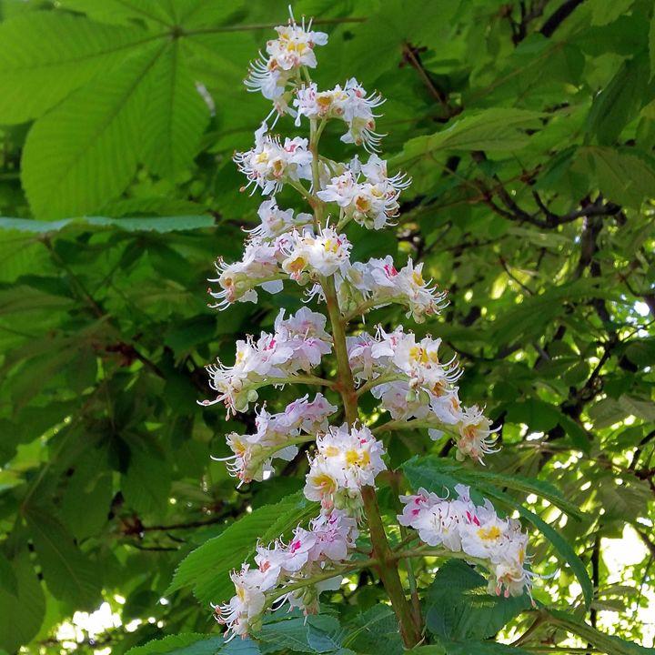 chestnut flower - feiermar