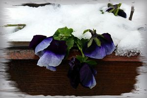 Pansy under snow