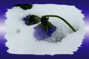Purple pansy on the snow