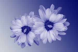 twisted blue petals