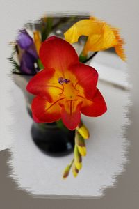 The red freesia