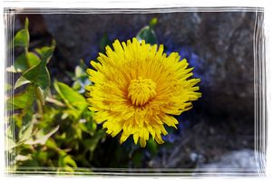 Dandelion in sunlight