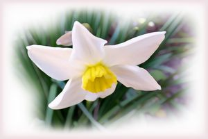 Narcissus bright shades