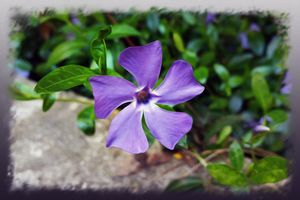 Blue purple petals