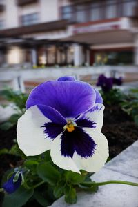 Pansy on the sidewalk