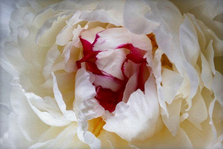 Peony petals - feiermar