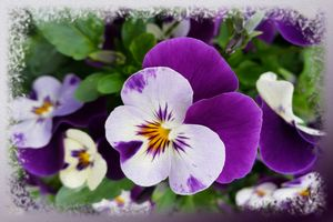 Purple white pansies