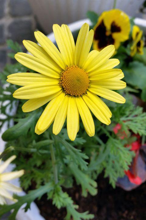 yellow daisy - feiermar