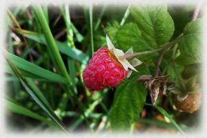 A ripe raspberry