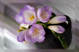 Light purple freesias