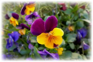 Shining pansies