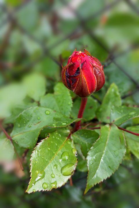 rosebud in the rain - feiermar