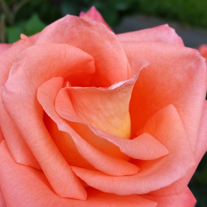 pink rose petals - feiermar