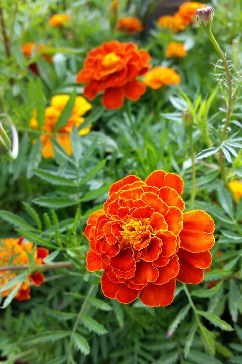 brightly colored marigold - feiermar