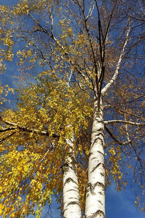 two birch trees - feiermar