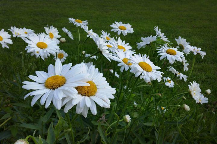 white daisies - feiermar
