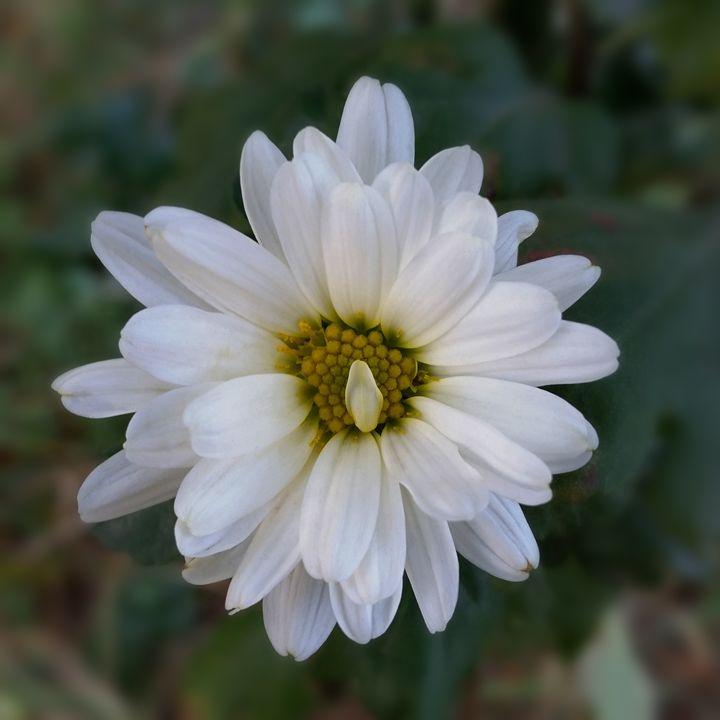 twisted white petal - feiermar